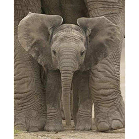 Mini Poster Big Ears Baby Elephant