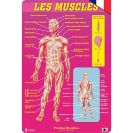 Educational Poster Francia Les Muscles